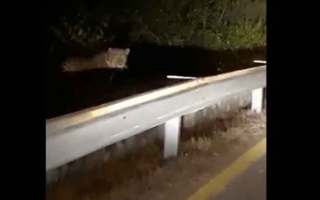 Leopard came to street in Islamabad